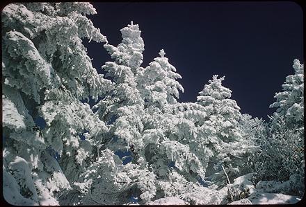Snow covered trees, circa 1960s