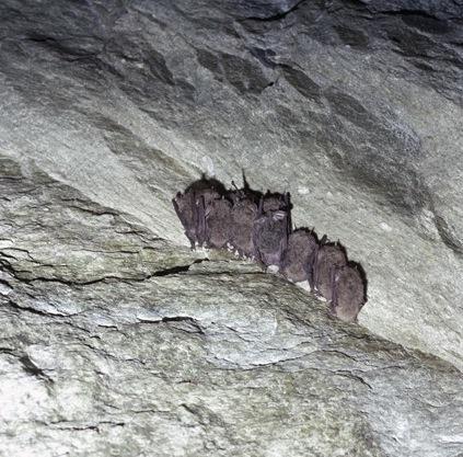 Rare Bats [on Grandfather Mountain], Spring 1984
