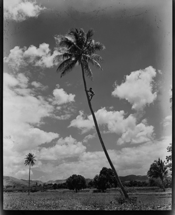 Man climbing palm tree in the Pacific islands, possibly Bougainville, during World War II (early 1940s)