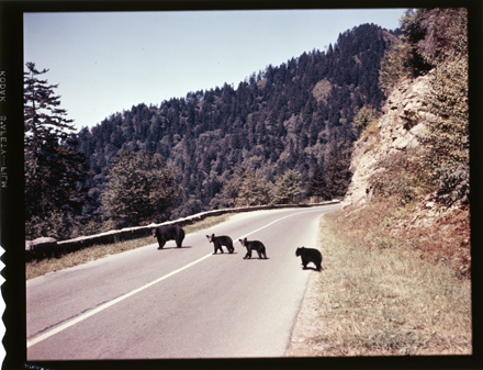 Bears in the Great Smoky Mountains National Park, circa 1950s