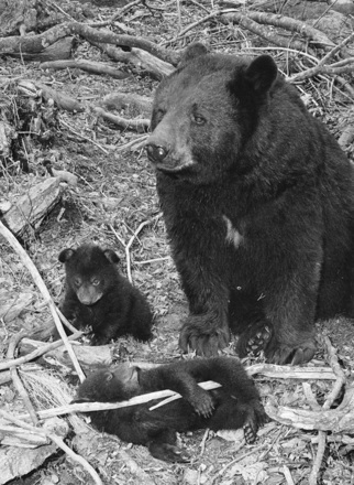 "Mildred the bear with cubs Elizabeth and Walter on ""adoption day,"" 4/14/1984"