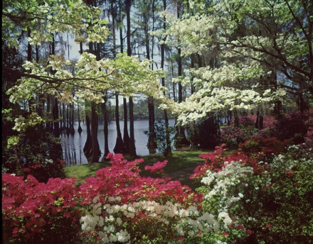 Scenic view at Wilmington, NC area azalea garden (Greenfield?)