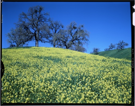[Trees at top of hill covered with yellow wildflowers, circa 1980]