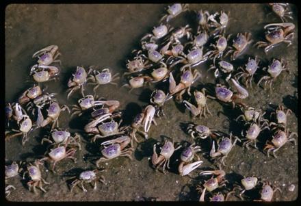 Crabs, North Carolina coast?