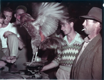 Men weighing fighting cock, probably NC, circa late 1940s-early 1950s