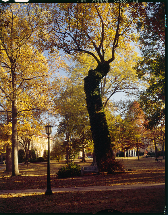 Davie Poplar with fall foilage, University of North Carolina at Chapel Hill, circa 1970s.
