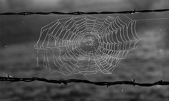 Spider web on barbed wire fence.   Scanned and cropped from a negative by Hugh Morton.