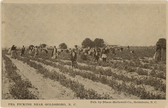 """Pea picking near Goldsboro"" postcard"