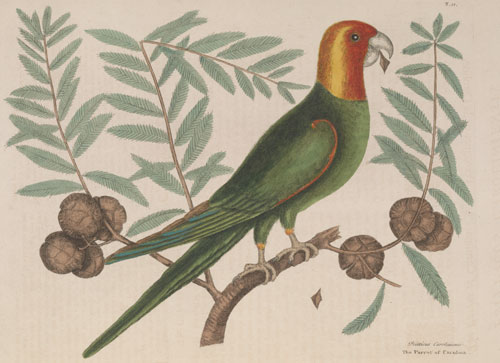 Mark Catesby's illustration of the Carolina Parrot