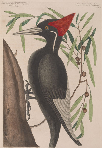 Mark Catesby's illustration of the Ivory Billed Woodpecker