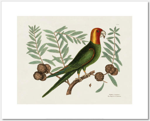 Mark Catesby parrot illustration