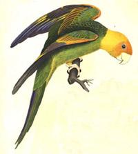 Carolina Parakeet drawing
