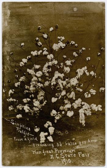Stalk of Simpkins Prolific cotton
