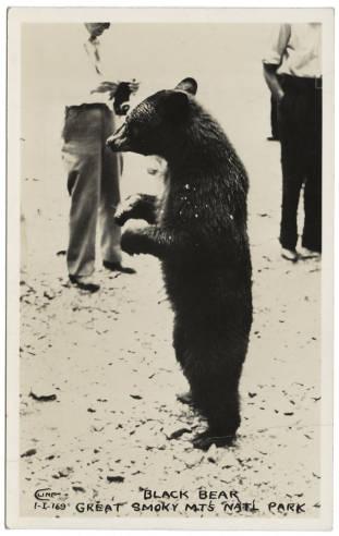 Black_Bear_Great_Smoky_Mts_Natl_Park