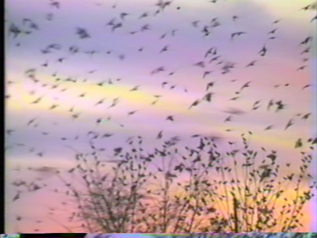 silhouette of trees and flock of black birds against purple, yellow and pink sunset